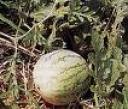 pohon semangka