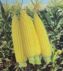 Jagung merupakan salah satu tanaman sumber karbohidrat utama. Memiliki ...